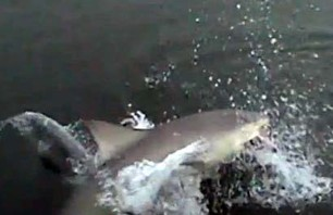 Watch Big Bull Shark Snatch Fish from Fisherman\'s Net!