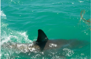 Number of Shark Attacks On The Rise