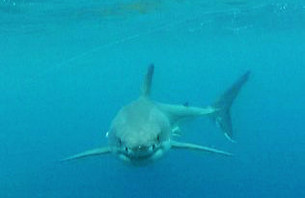 Scary Video of White Shark Raises  Fears