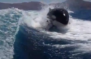 Must Watch: Insane Video of Killer Whales Following Boat