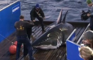 Massive Great White Shark Captured Off Florida