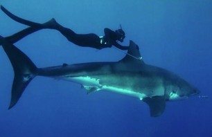 Watch Beautiful Woman Swim with Great White Shark