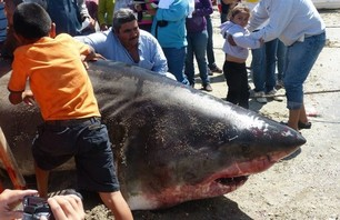 Huge White Shark Caught in Gulf of California