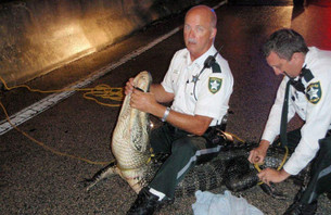 Florida Cop Wrestles Alligator