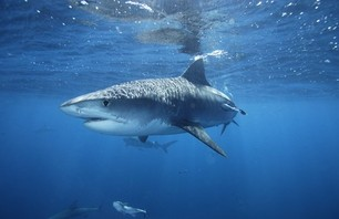 French Honeymooning Surfer Killed by Shark in Reunion Islands