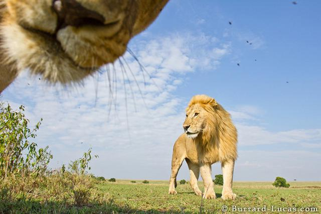 Insane Lion Close Up Photos